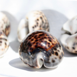 The Tiger Cowrie Shell set/5