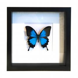 Papilio Ulysses in schilderij