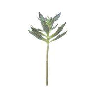 KALANCHOE - kalanchoe succulent -  - H 52 cm - green