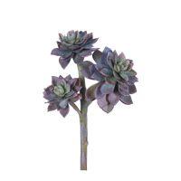 SUCCULENT - succulent -  - H 20 cm - pourpre