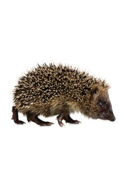 Forest Friends Hedgehog