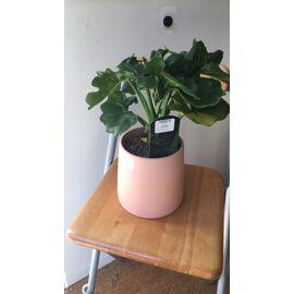 Philodendron Selloum Atom