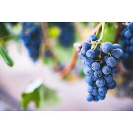 Grape Top