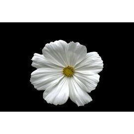 White Luca
