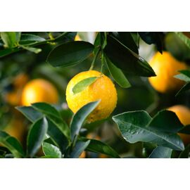 Citrus Season Spray